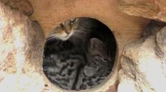 4K footage of a Wildcat (Felis silvestris) mother with her kitten Stock Footage