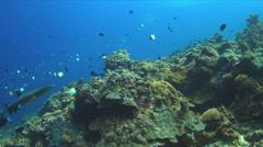 4k Whitetip Reef Shark Stock Footage