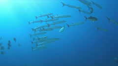 4k Blackfin Barracudas on a Coral reef Stock Footage