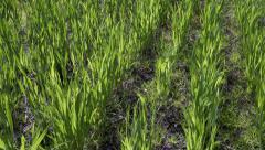 Fresh growing crop and streaking sunlight, bright green, tilt, pan, slide Stock Footage