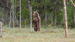 Young brown bear alerted stand on two legs watching Stock Footage