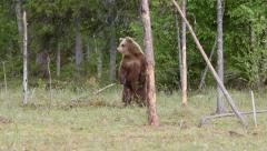Young brown bear alerted stand on two legs watching - stock footage