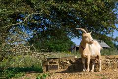 Old goat rests into the sun in strange position Stock Photos