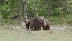 Two Young brown bears alerted standing in swamp - stock footage