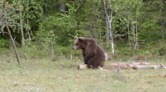 Young brown bear sitting itching - stock footage