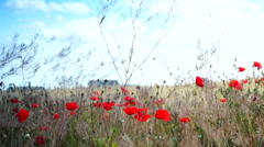 Opium Poppies (Papaver Somniferum) On The Field Swaying In The Wind - stock footage