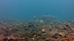 Black tip reef sharks swimming underwater at Bali Islands. Stock Footage