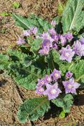 Mandrake mandragora officinalis flowers Stock Photos