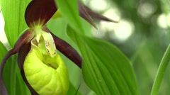 Wild beautiful slipper orchid (Cypripedium calceolus) Stock Footage
