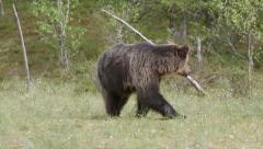 Brown bear walking looking around - stock footage