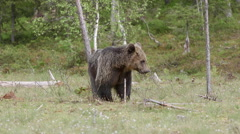 Brown bear itching towards tree trunk - stock footage