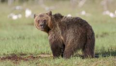 Huge brown bear standing in swamp watching alerted - stock footage