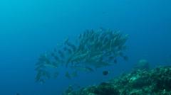 Yellowstripe barracudas Stock Footage