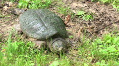 Snapping turtle laying its eggs Stock Footage