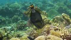Titan Triggerfish on a coral reef Stock Footage