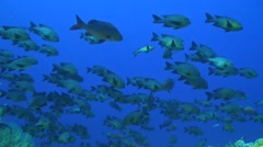 Midnight Snapper on a coralreef - stock footage