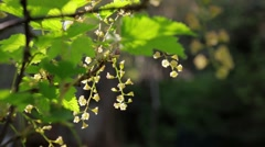 Redcurrant shrub with white flowers swaying Stock Footage