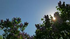 The sun shines through the blooming lilacs Stock Footage