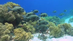 Harlequin sweetlips on a coral reef Stock Footage