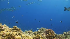 School of Snapper on a coral reef Stock Footage