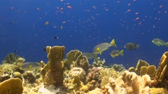 Sweetlips on a coral reef Stock Footage