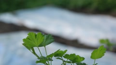 Currant leaves and a white gauze cover in garden Stock Footage