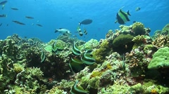 Bannerfish on a coral reef Stock Footage