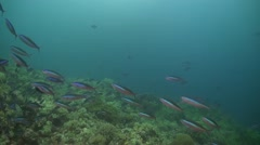 School of fusilier on a coral reef Stock Footage