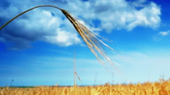 Golden Ear Of Wheat, Isolated,  Blue Sky Background and Clouds Stock Footage