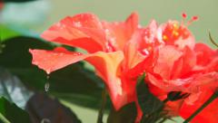 Water drips off hibiscus Stock Footage