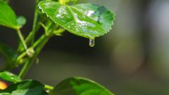 Slow motion water dripping off green leaf - stock footage