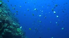 Steep slope of a coral reef with plenty of fish Stock Footage