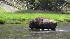 Wildlife Bull Bison crossing river in Yellowstone 4K Stock Footage