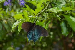 Stock Photo of Pipevine Swallowtail Butterfly