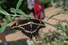 Stock Photo of American Swallowtail Butterfly