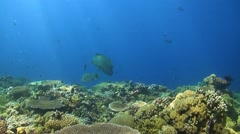 Napoleon on a coral reef. Humphead wrasse Stock Footage