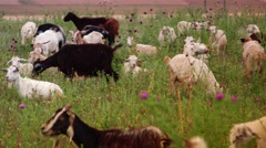 ULTRA HD 4K real time shot,The Herd of goats on green wild field Stock Footage