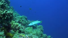 A Coral reef with a Napoleon wrasse Stock Footage