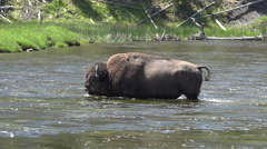 Wildlife Male Bull Bison cross river Yellowstone 4K Stock Footage