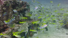 Thriving  coral reef alive with marine life and shoals of fish, Bali. Stock Footage