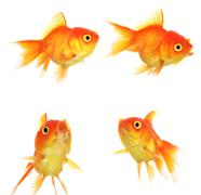 Set of Gold fish Isolation on the white Kuvituskuvat