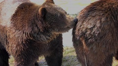 4K footage of two Brown Bears (Ursus arctos) at a small pond Stock Footage