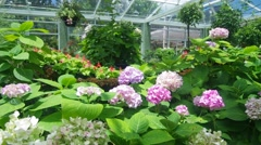 hydrangea in the greenhouse - stock footage