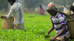 Mid close shot of tea worker collecting leaves6 Stock Footage
