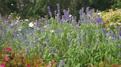 Salvia flower in the flower bed Stock Footage