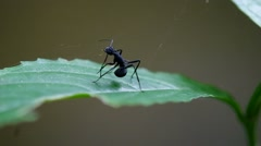 black ant clean its antenna - stock footage