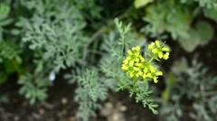 Stock Video Footage of Southernwood, Artemisia abrotanum