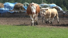 Stock Video Footage of Cows in corral on cattle ranch