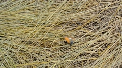 Butterfly sits on dry wizened grass and flies away Stock Footage