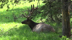 Beautiful Bull Elk resting in shade forest meadow 4K Stock Footage